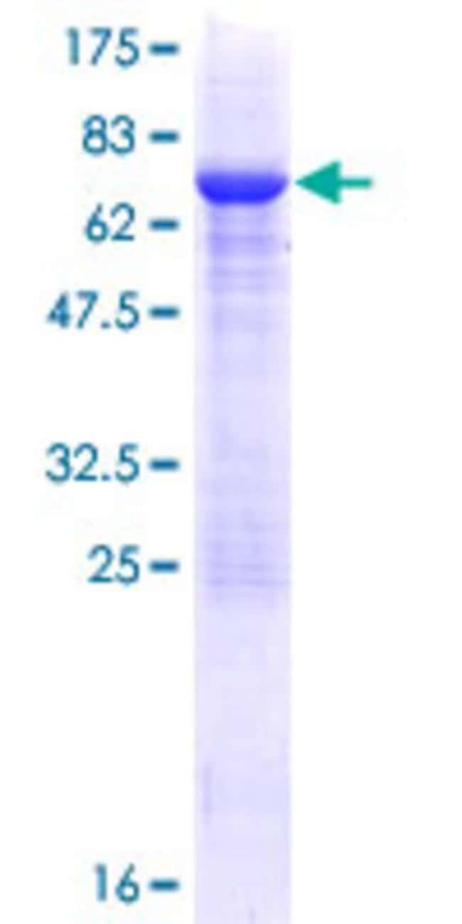 AbnovaHuman PELI2 Full-length ORF (NP_067078.1, 1 a.a. - 420 a.a.) Recombinant