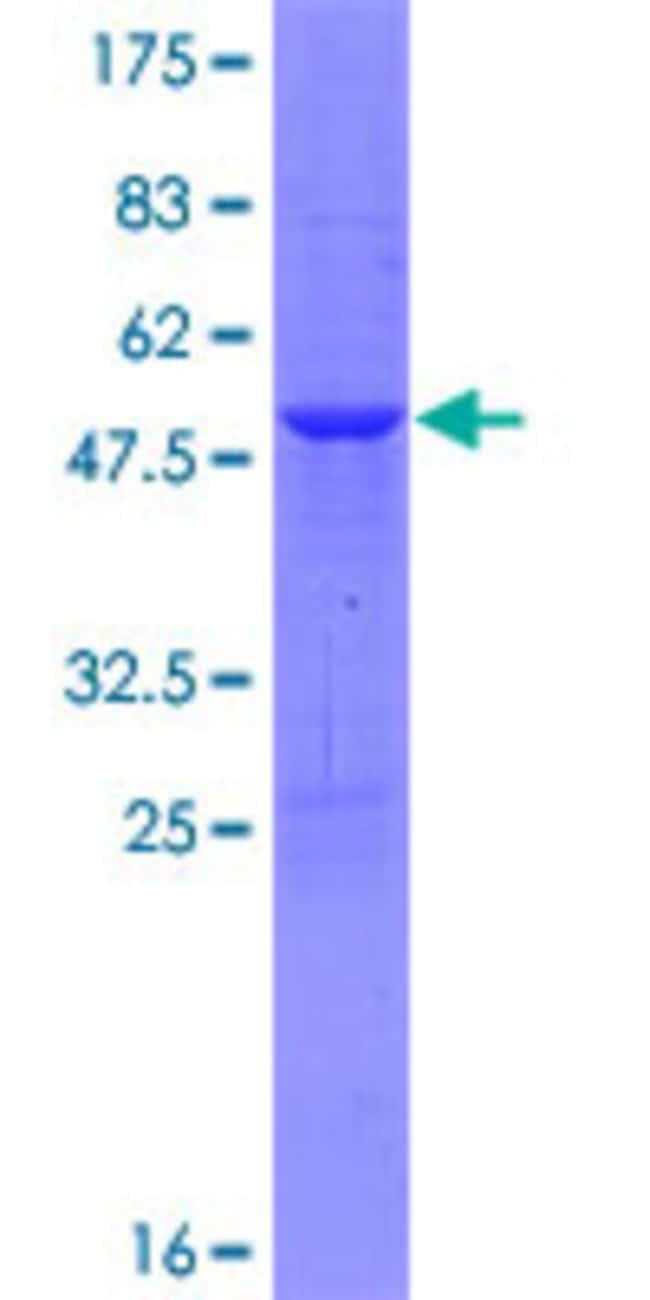Abnova Human KIAA0495 Full-length ORF (AAH93699.1, 1 a.a. - 201 a.a.) Recombinant