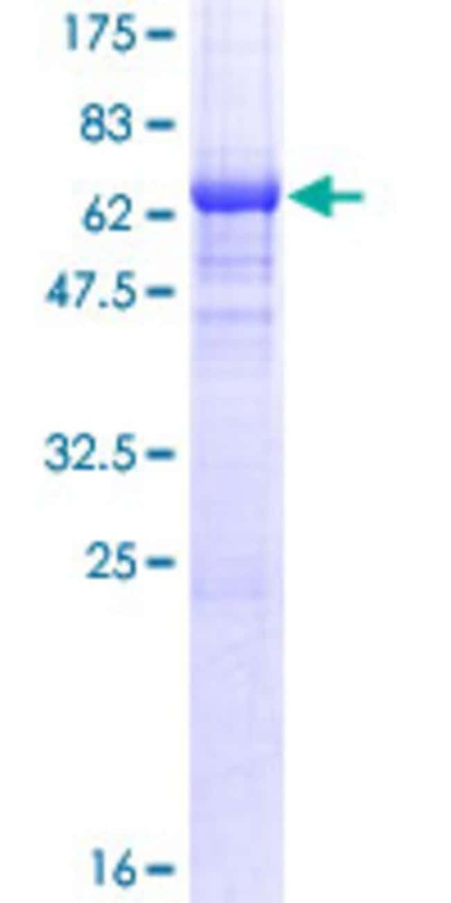 AbnovaHuman NDRG2 Full-length ORF (AAH11240.1, 1 a.a. - 360 a.a.) Recombinant