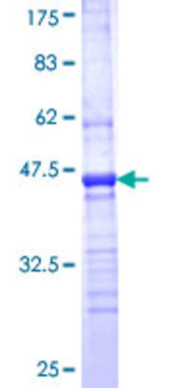 AbnovaHuman NDRG2 Partial ORF (NP_057334, 1 a.a. - 96 a.a.) Recombinant