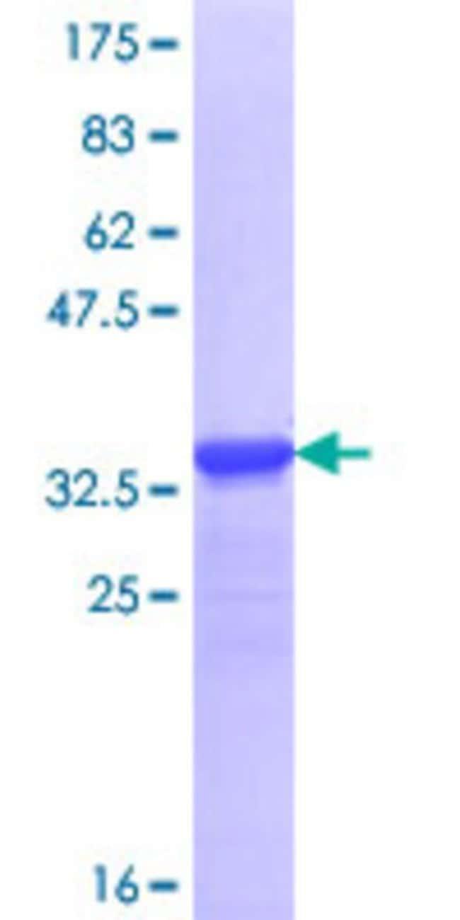 AbnovaHuman DSCAML1 Partial ORF (NP_065744.2, 1922 a.a. - 2008 a.a.) Recombinant