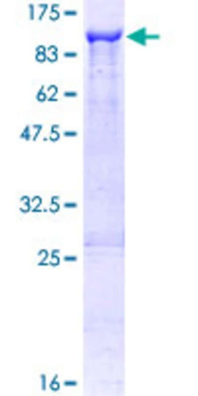AbnovaHuman NLN Full-length ORF (NP_065777.1, 1 a.a. - 704 a.a.) Recombinant