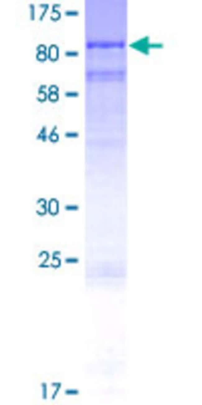AbnovaHuman ODF2L Full-length ORF (AAH91490.1, 1 a.a. - 620 a.a.) Recombinant