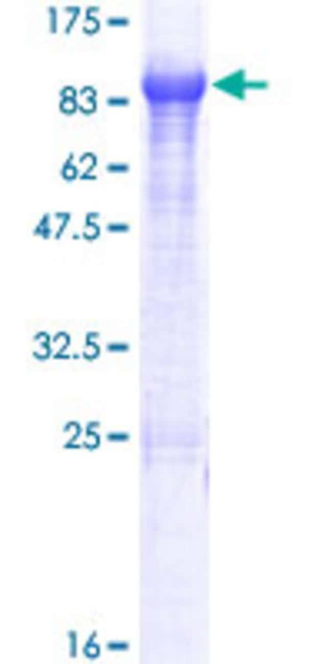 AbnovaHuman KLHL14 Full-length ORF (NP_065856.1, 1 a.a. - 628 a.a.) Recombinant