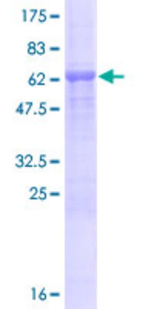 AbnovaHuman KIAA1394 Full-length ORF (AAH36557.1, 1 a.a. - 385 a.a.) Recombinant