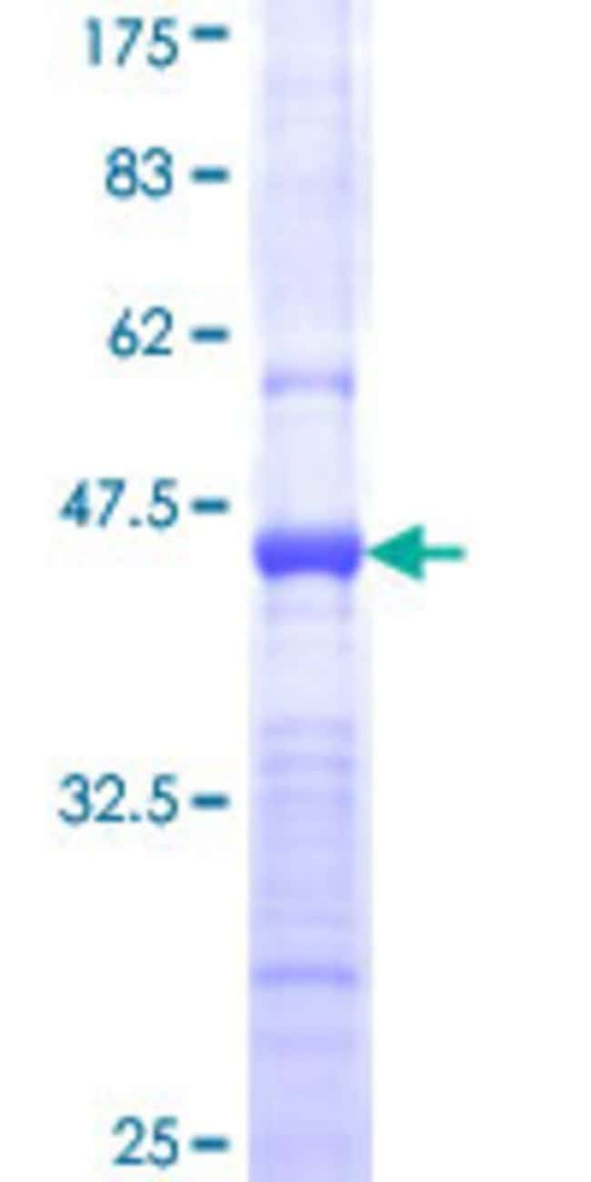 AbnovaHuman PCDH10 Partial ORF (NP_065866, 18 a.a. - 127 a.a.) Recombinant