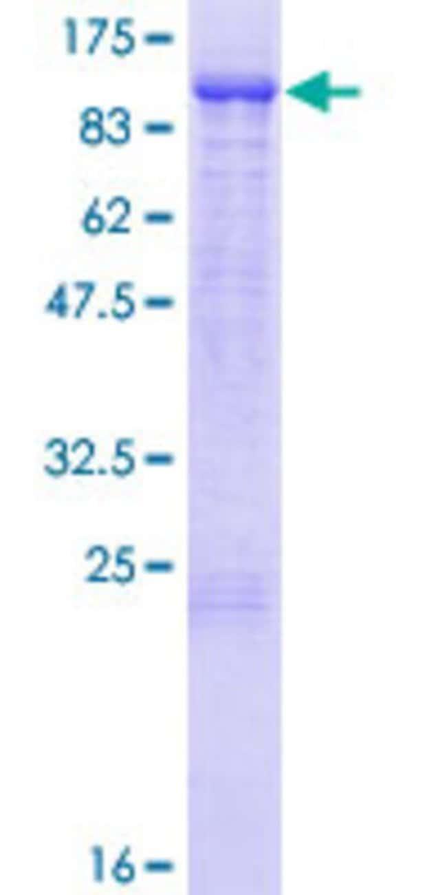AbnovaHuman KLHL1 Full-length ORF (NP_065917.1, 1 a.a. - 748 a.a.) Recombinant