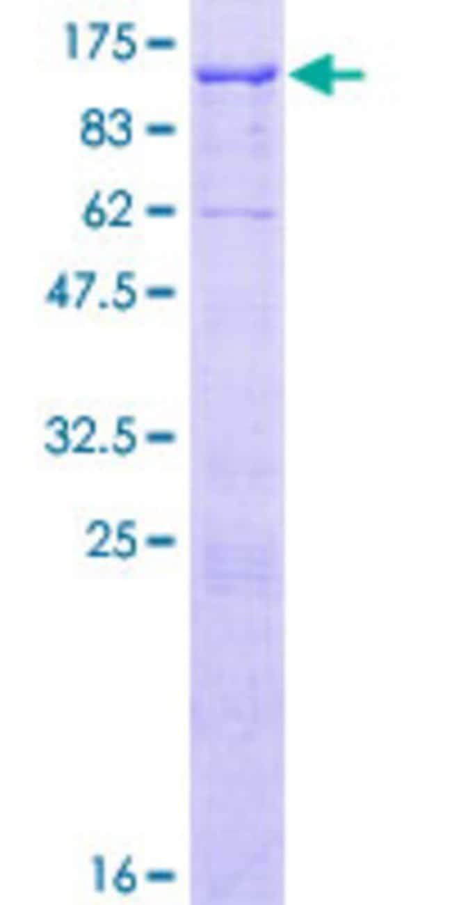 AbnovaHuman EPB41L5 Full-length ORF (NP_065960.2, 1 a.a. - 733 a.a.) Recombinant