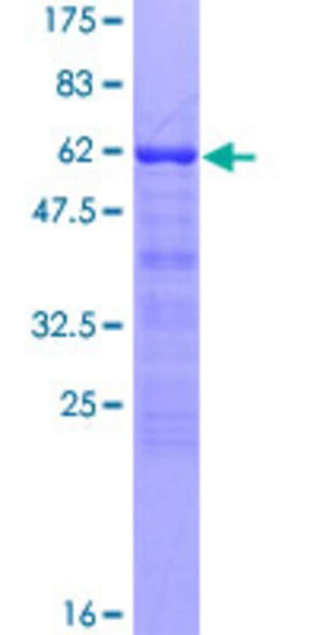 AbnovaHuman ANKRA2 Full-length ORF (NP_075526.1, 1 a.a. - 313 a.a.) Recombinant