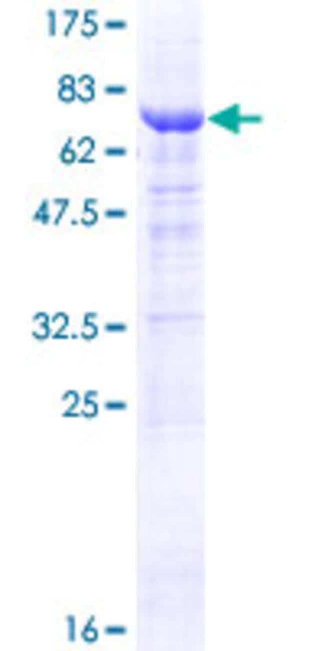 AbnovaHuman RRAGD Full-length ORF (NP_067067.1, 1 a.a. - 400 a.a.) Recombinant