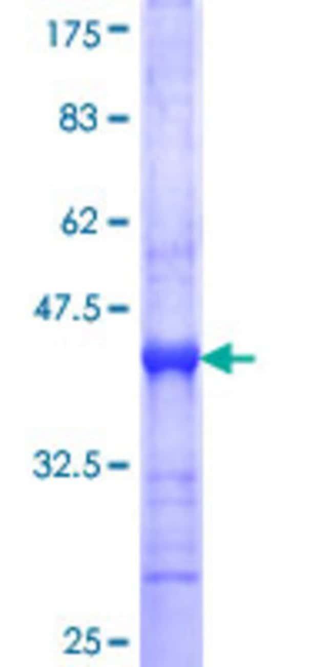 AbnovaHuman MPP4 Partial ORF (NP_149055, 1 a.a. - 109 a.a.) Recombinant