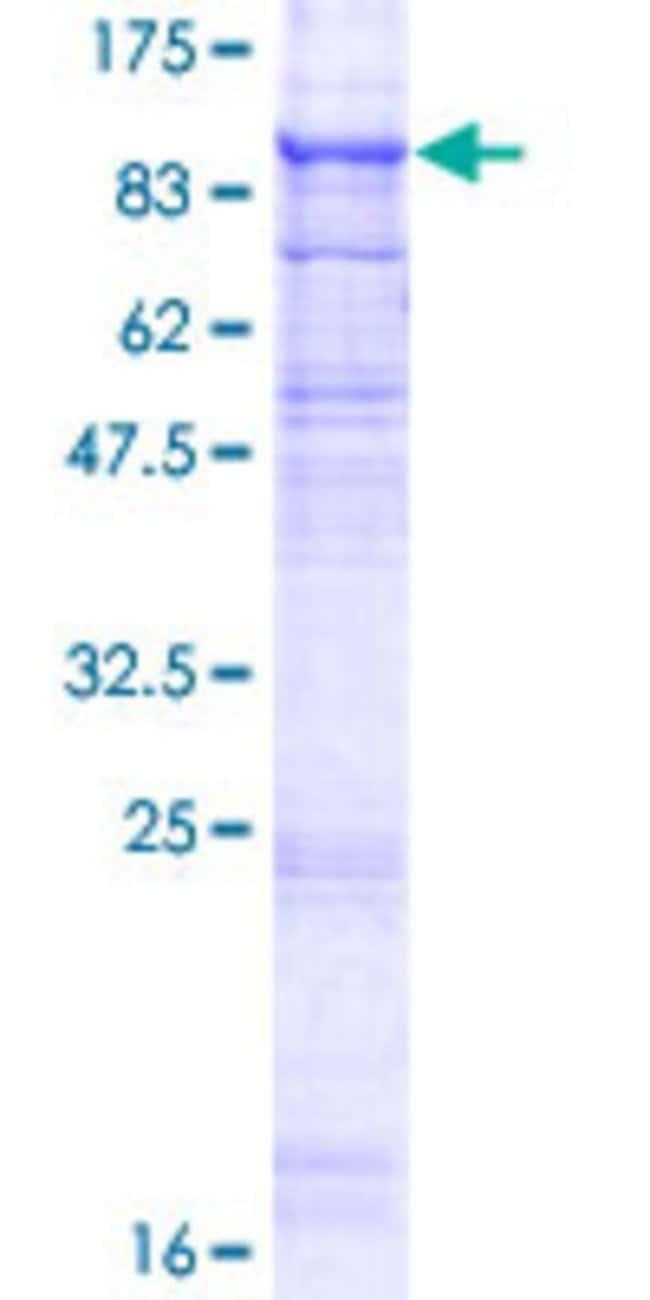 AbnovaHuman TMEM8 Full-length ORF (AAH21557.1, 1 a.a. - 771 a.a.) Recombinant