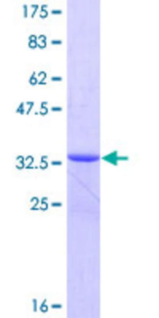 AbnovaHuman ICEBERG Full-length ORF (NP_067546.1, 1 a.a. - 90 a.a.) Recombinant