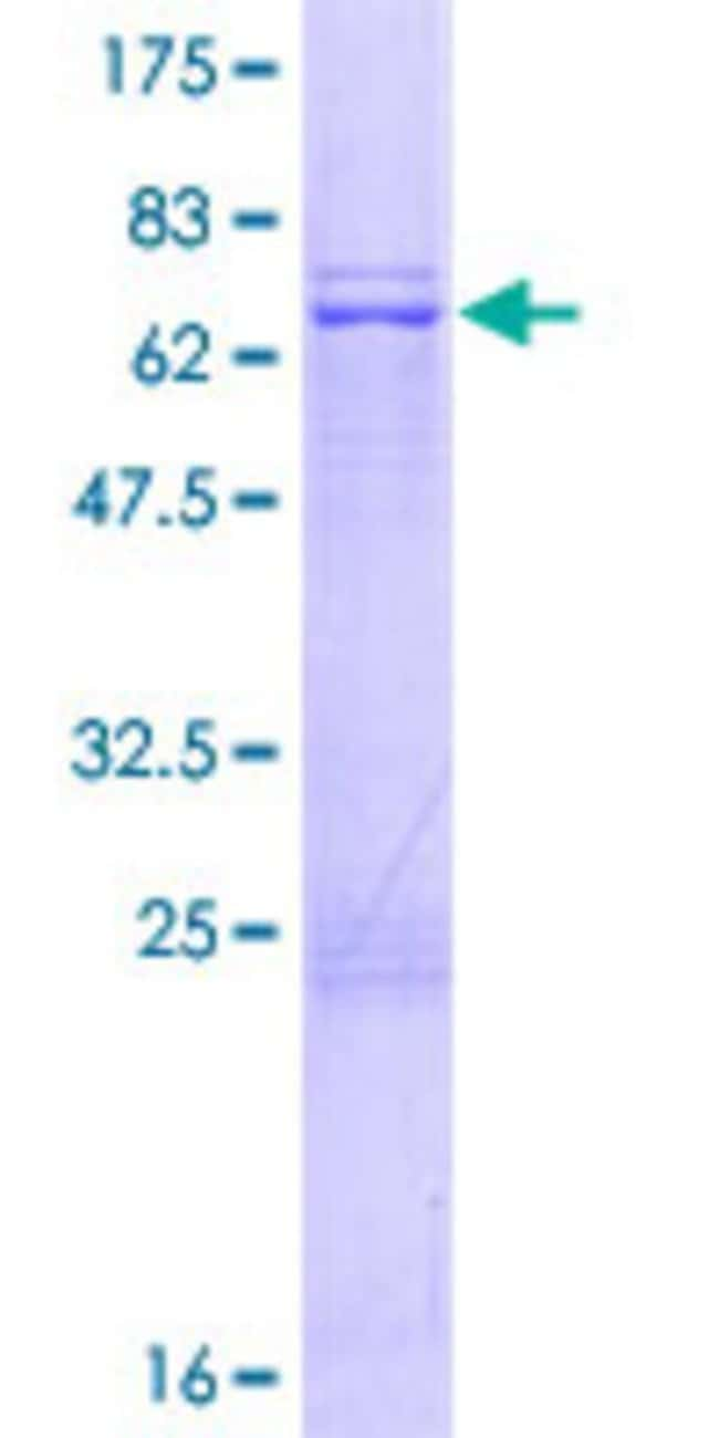AbnovaHuman MRPS35 Full-length ORF (NP_068593.2, 1 a.a. - 323 a.a.) Recombinant