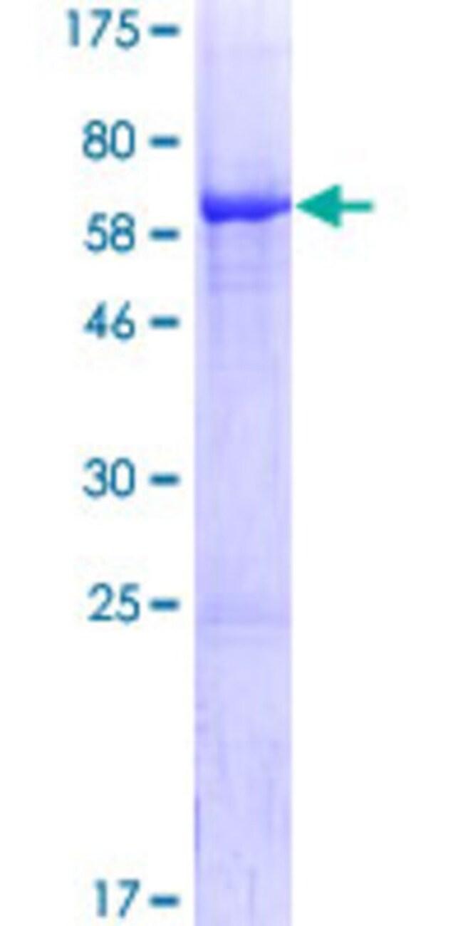 AbnovaHuman NIF3L1 Full-length ORF (NP_068596.2, 1 a.a. - 350 a.a.) Recombinant