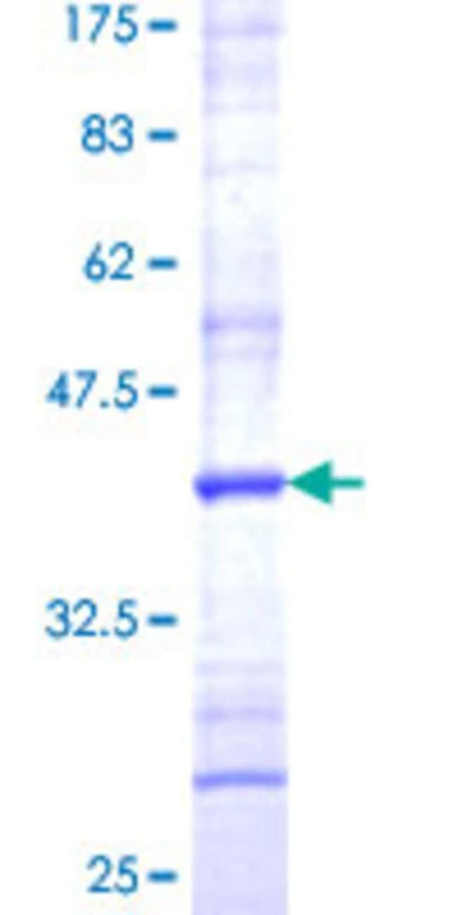 AbnovaHuman SPCS3 Partial ORF (NP_068747, 32 a.a. - 141 a.a.) Recombinant