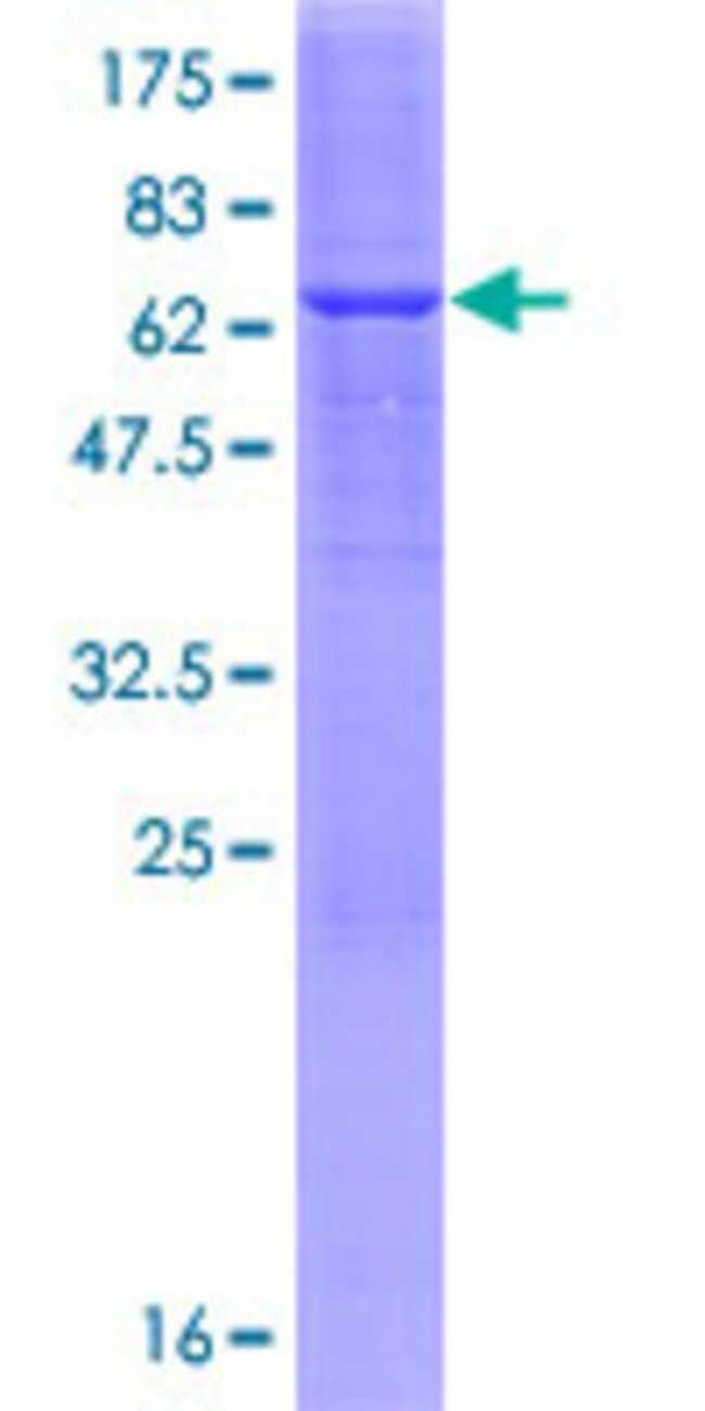 AbnovaHuman ABHD4 Full-length ORF (NP_071343.2, 1 a.a. - 342 a.a.) Recombinant