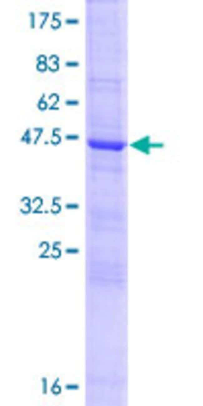 Abnova™Human MUTED Full-length ORF (NP_958437.1, 1 a.a. - 187 a.a.) Recombinant Protein with GST-tag at N-terminal 10μg Abnova™Human MUTED Full-length ORF (NP_958437.1, 1 a.a. - 187 a.a.) Recombinant Protein with GST-tag at N-terminal
