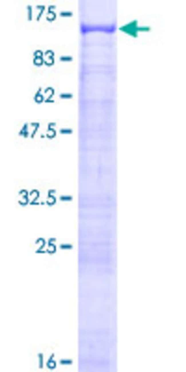 AbnovaHuman ANKRD5 Full-length ORF (AAH22878.1, 1 a.a. - 776 a.a.) Recombinant
