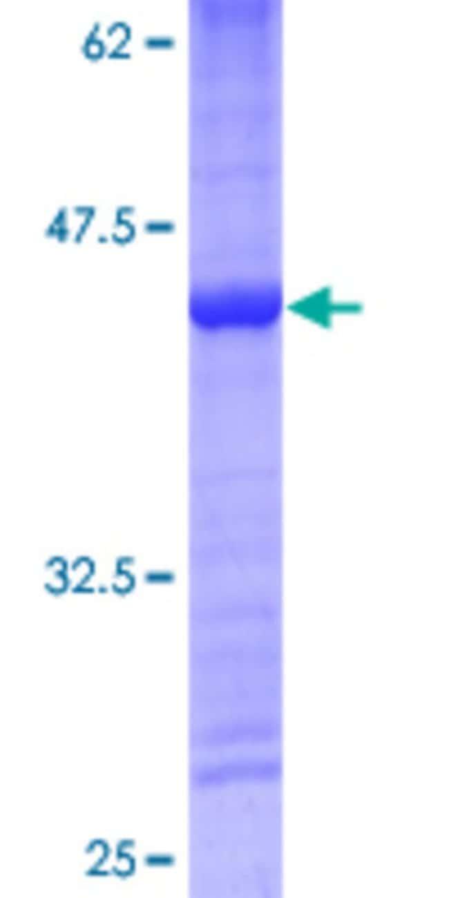 AbnovaHuman MRPS14 Full-length ORF (NP_071383.1, 1 a.a. - 128 a.a.) Recombinant