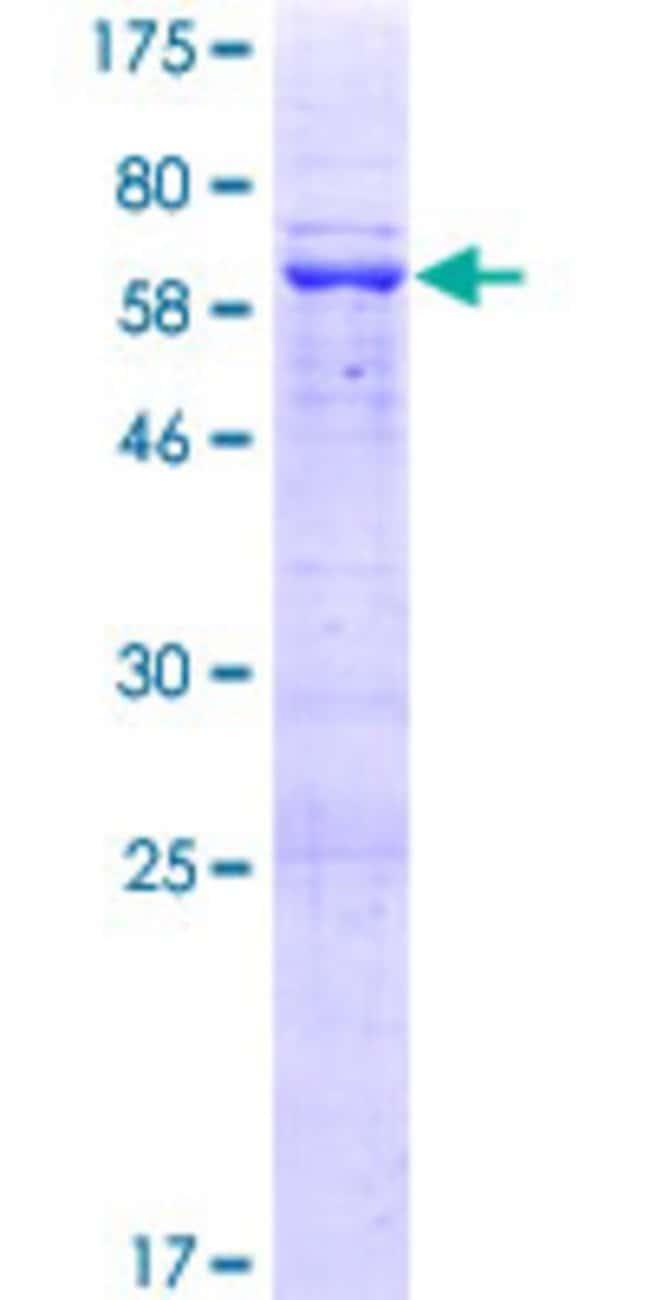 AbnovaHuman FKBPL Full-length ORF (NP_071393.2, 1 a.a. - 349 a.a.) Recombinant