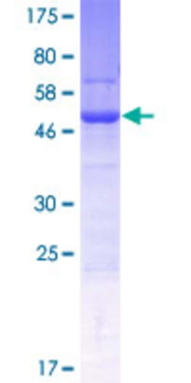 AbnovaHuman SPATA1 Full-length ORF (AAH64144.1, 1 a.a. - 220 a.a.) Recombinant