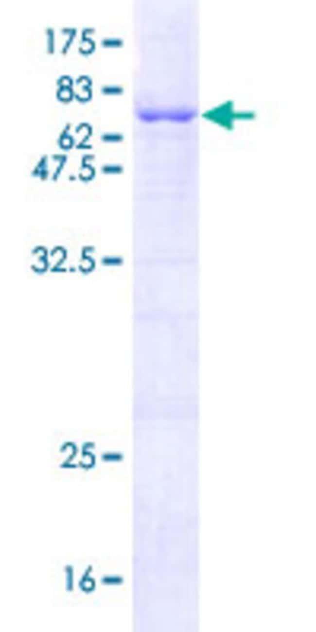 AbnovaHuman TOR3A Full-length ORF (AAH11746.1, 1 a.a. - 397 a.a.) Recombinant