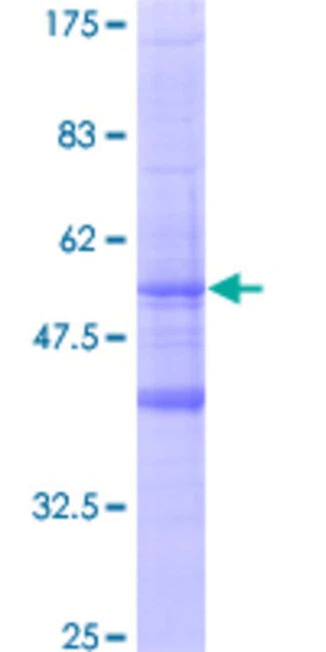 AbnovaHuman MS4A6A Full-length ORF (AAH22854, 1 a.a. - 248 a.a.) Recombinant