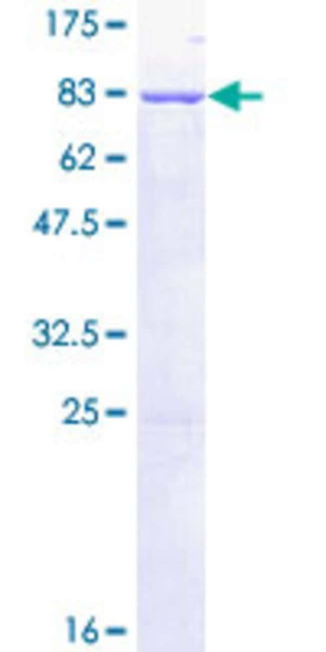 AbnovaHuman SIL1 Full-length ORF (NP_071909.1, 1 a.a. - 461 a.a.) Recombinant