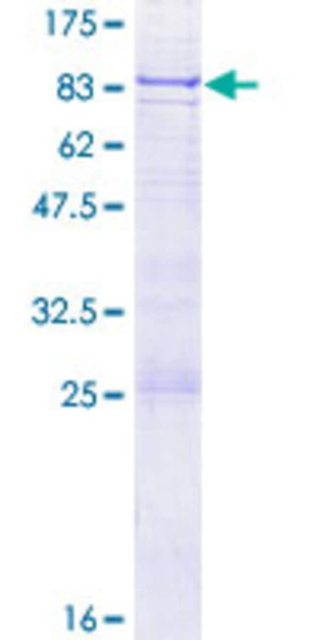 AbnovaHuman GMCL1 Full-length ORF (NP_848526.1, 1 a.a. - 515 a.a.) Recombinant