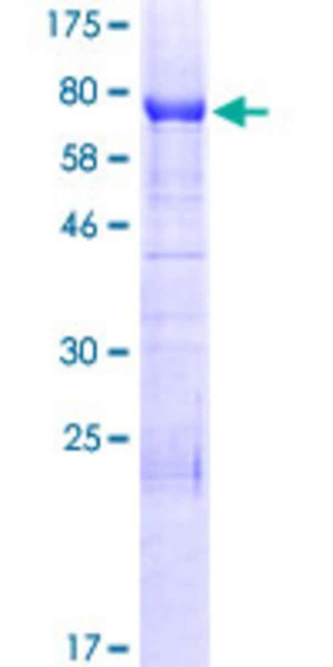 AbnovaHuman INF2 Full-length ORF (ENSP00000344000, 1 a.a. - 337 a.a.) Recombinant