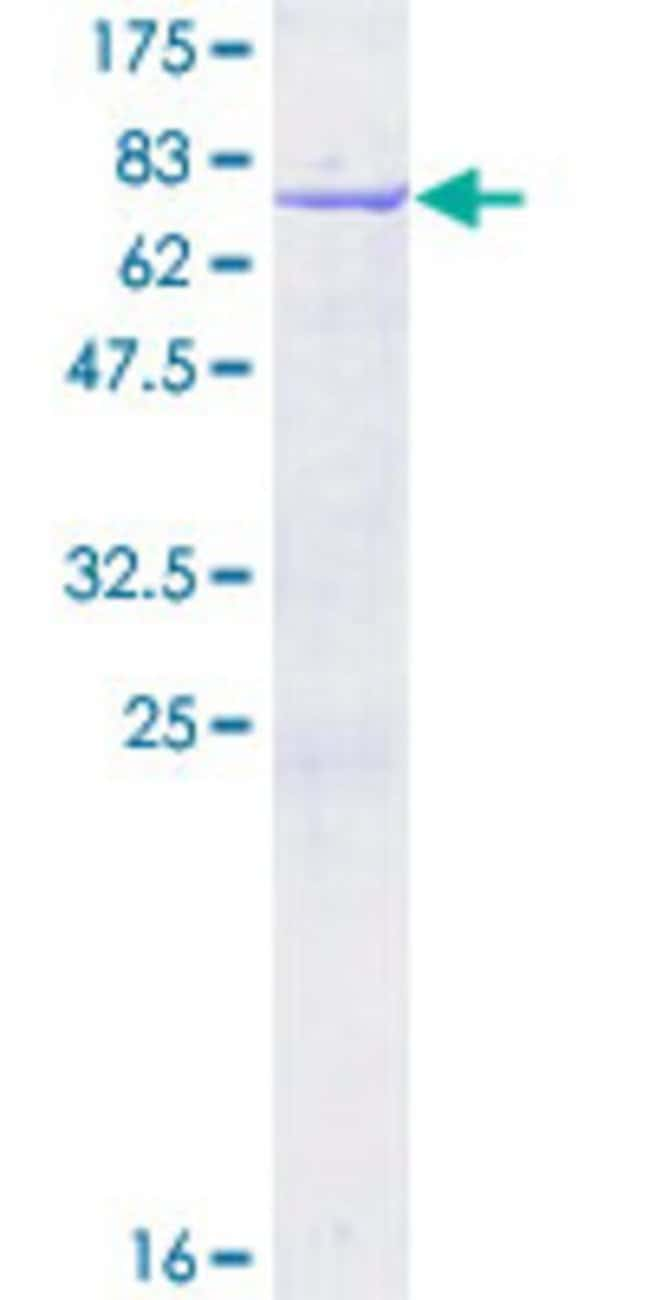AbnovaHuman NUCKS1 Full-length ORF (NP_073568.2, 1 a.a. - 243 a.a.) Recombinant