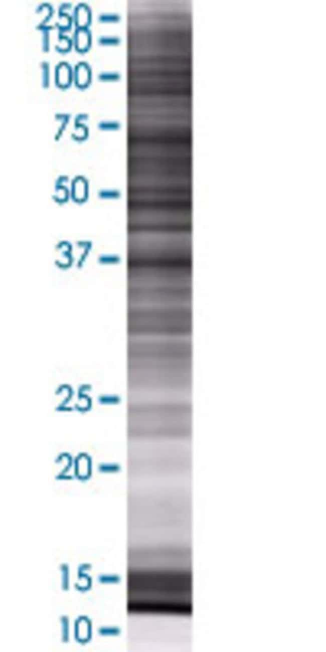 Abnova ISG20L1 293T Cell Transient Overexpression Lysate (Denatured) 100µL:Life