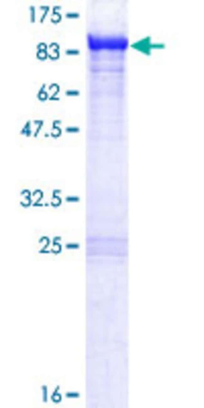 AbnovaHuman KLC2 Full-length ORF (NP_073733.1, 1 a.a. - 622 a.a.) Recombinant