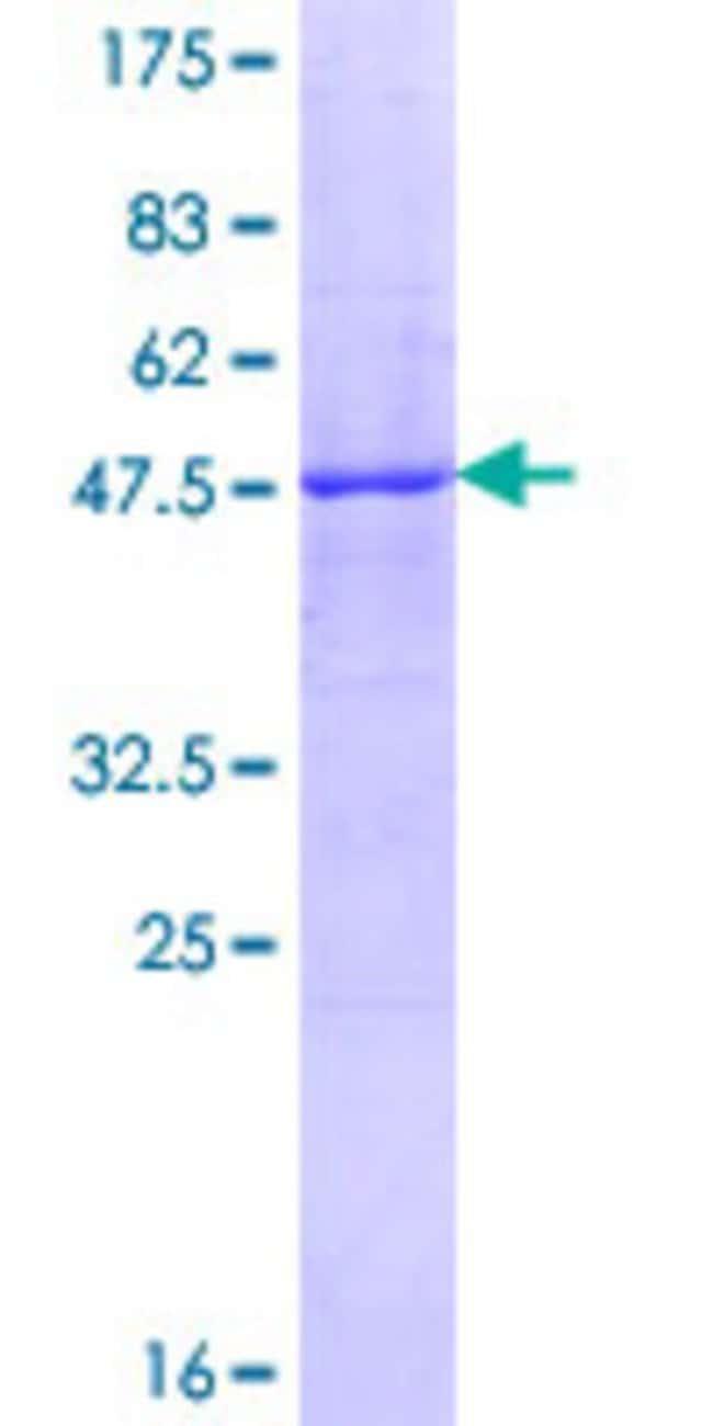 AbnovaHuman FNDC4 Full-length ORF (NP_073734.1, 1 a.a. - 234 a.a.) Recombinant