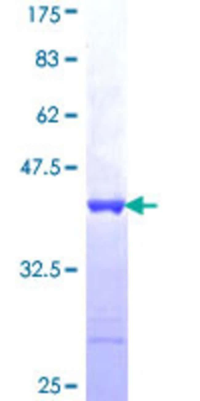 AbnovaHuman FNDC4 Partial ORF (NP_073734, 45 a.a. - 154 a.a.) Recombinant