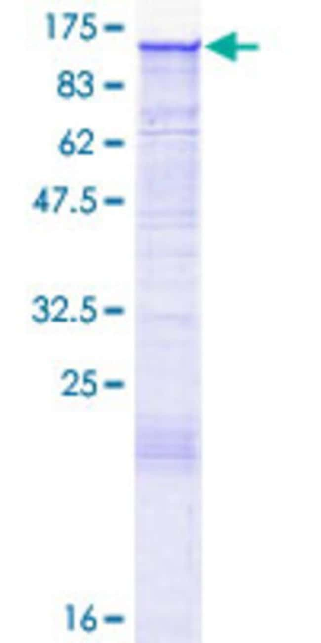 Abnova™Human PLEKHG2 Full-length ORF (AAH13426.1, 1 a.a. - 896 a.a.) Recombinant Protein with GST-tag at N-terminal 10μg Abnova™Human PLEKHG2 Full-length ORF (AAH13426.1, 1 a.a. - 896 a.a.) Recombinant Protein with GST-tag at N-terminal