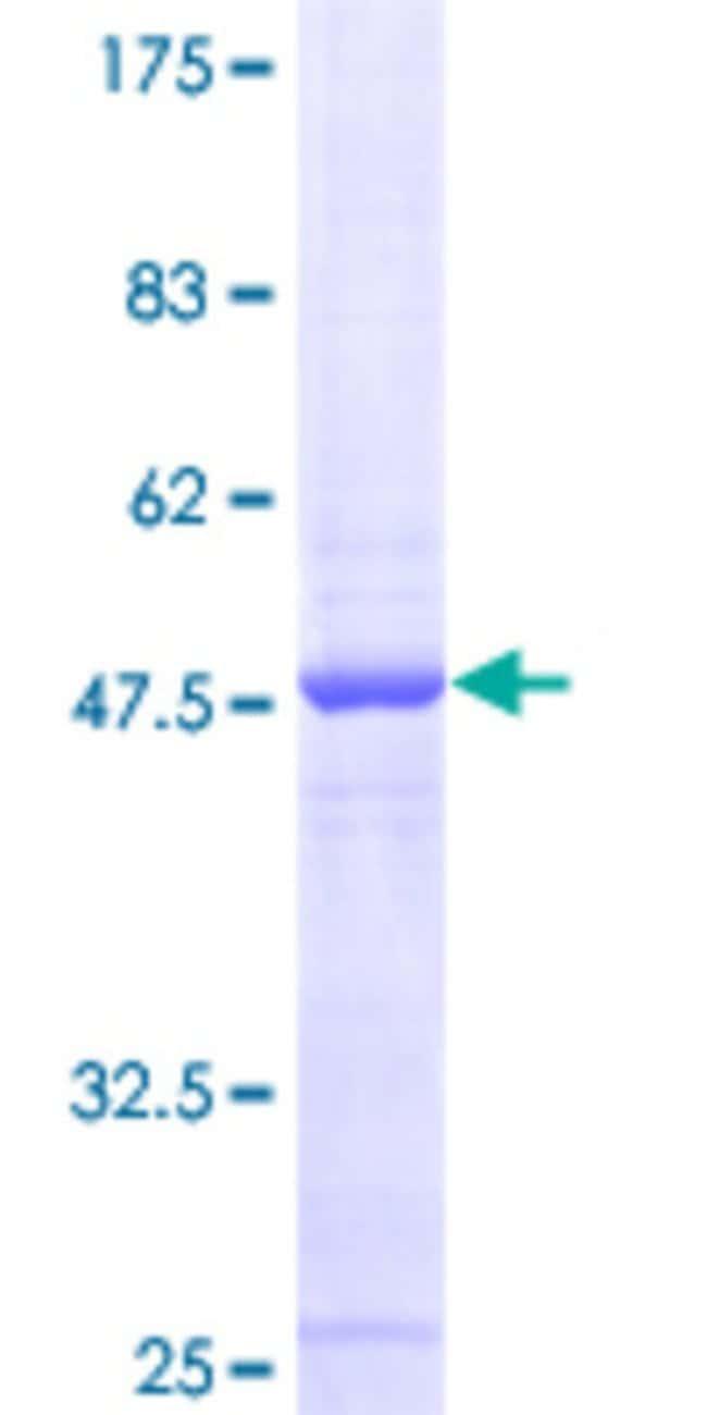 AbnovaHuman MRPS24 Full-length ORF (NP_114403.1, 1 a.a. - 167 a.a.) Recombinant