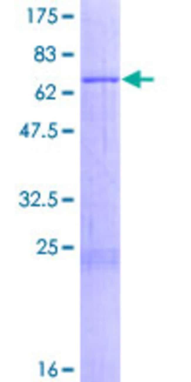 AbnovaHuman MRPS9 Full-length ORF (NP_872578.1, 1 a.a. - 396 a.a.) Recombinant