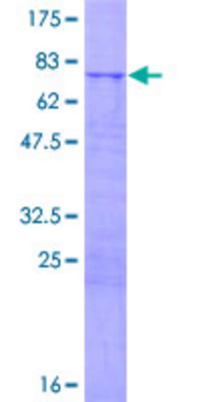 AbnovaHuman MRPS5 Full-length ORF (NP_114108.1, 1 a.a. - 430 a.a.) Recombinant