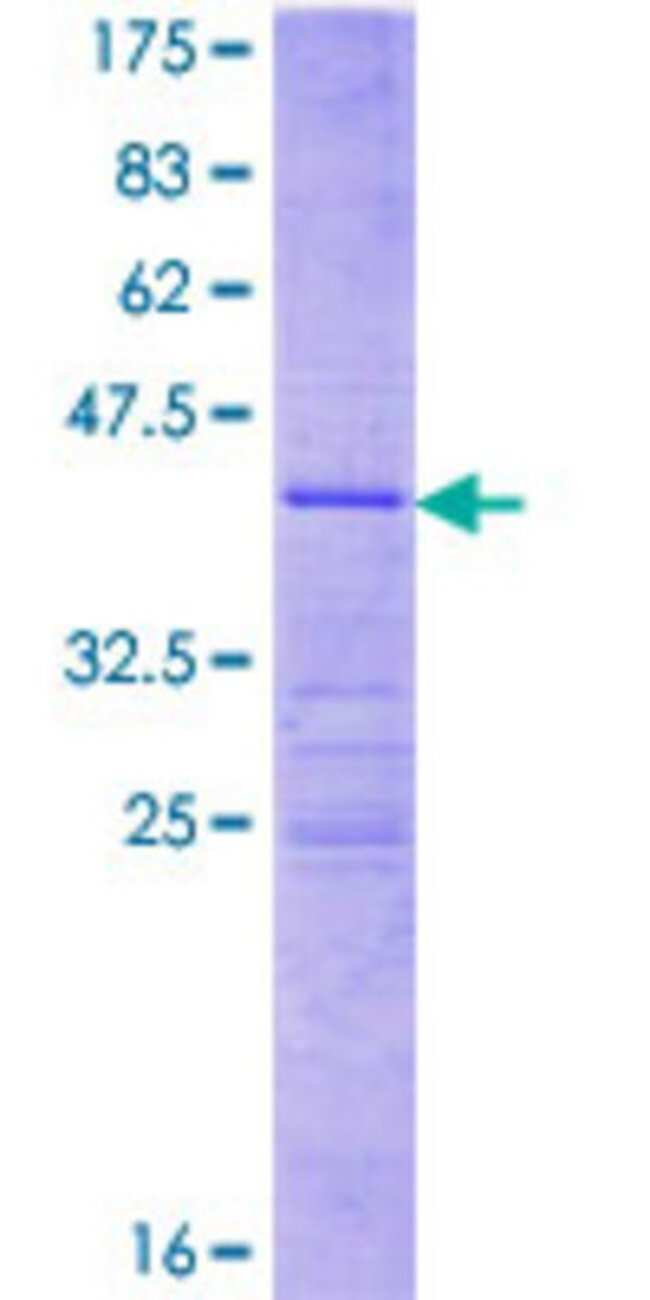 AbnovaHuman MRPL41 Full-length ORF (NP_115866.1, 1 a.a. - 137 a.a.) Recombinant