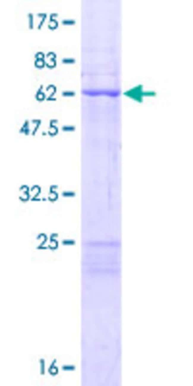 AbnovaHuman MRPL44 Full-length ORF (NP_075066.1, 1 a.a. - 332 a.a.) Recombinant