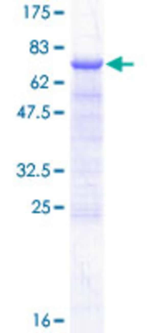 AbnovaHuman DLK2 Full-length ORF (NP_076421.2, 1 a.a. - 383 a.a.) Recombinant