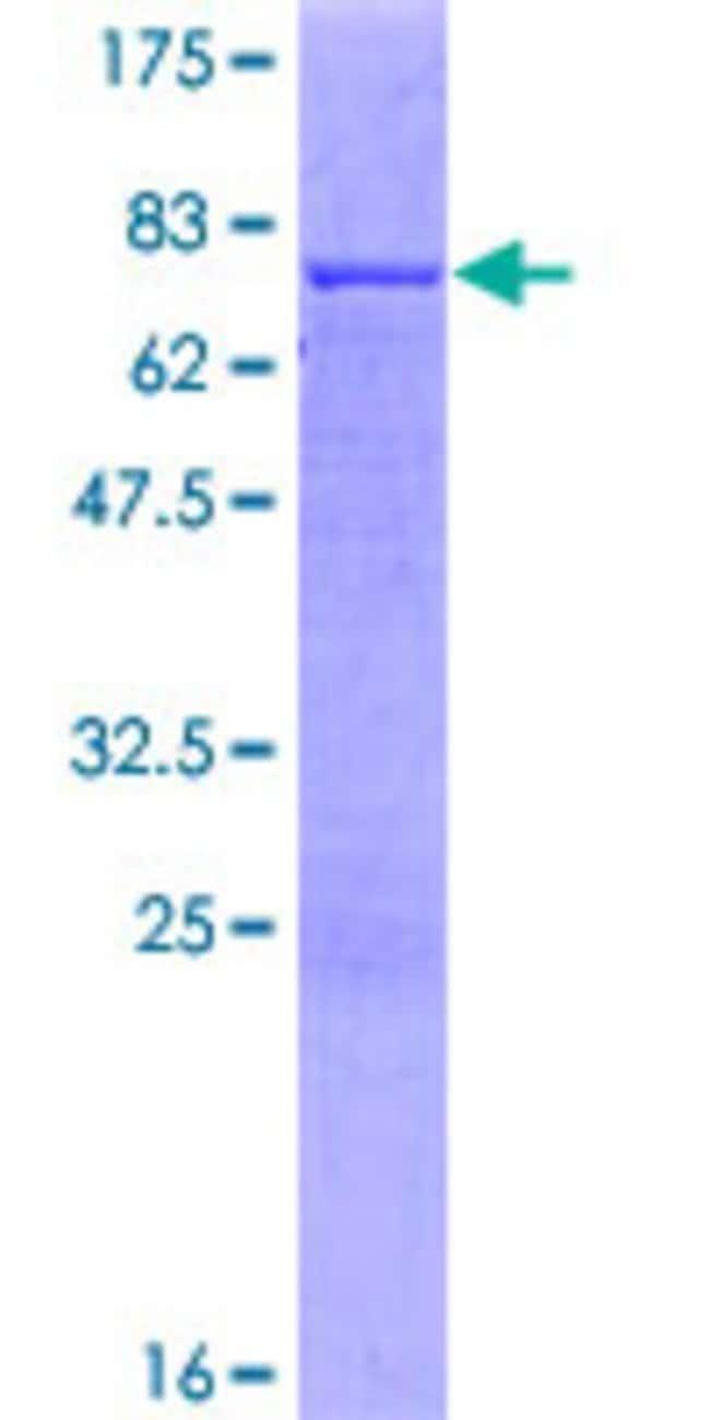AbnovaHuman SPATA5L1 Full-length ORF (AAH51861.1, 1 a.a. - 426 a.a.) Recombinant
