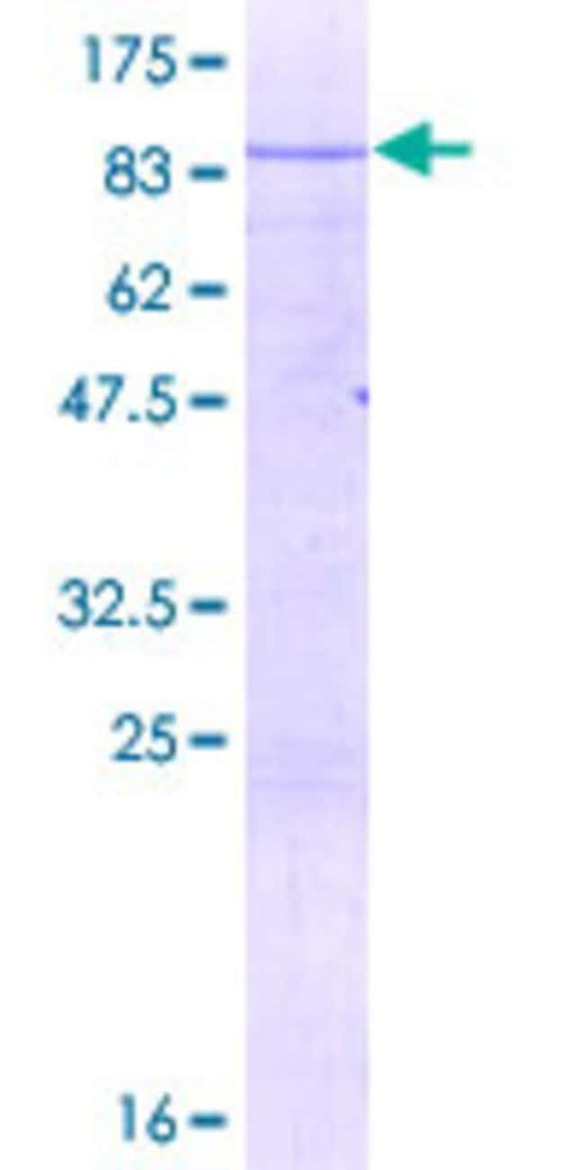 AbnovaHuman NOC4L Full-length ORF (NP_076983.1, 1 a.a. - 516 a.a.) Recombinant