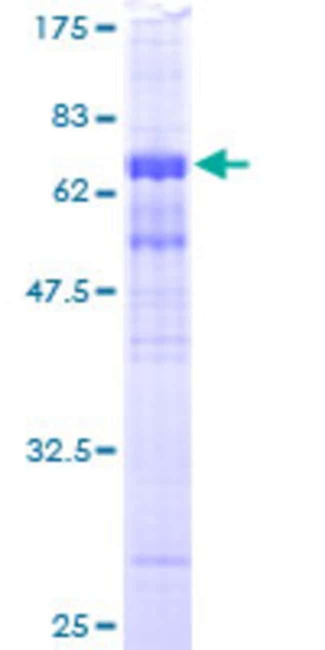 AbnovaHuman MEP50 Full-length ORF (AAH01679, 1 a.a. - 342 a.a.) Recombinant