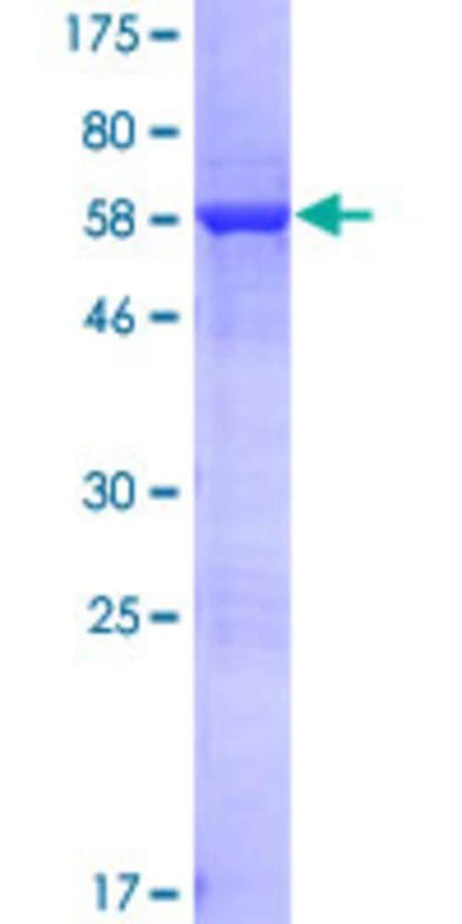 Abnova Human LENG1 Full-length ORF (NP_077292.1, 1 a.a. - 264 a.a.) Recombinant
