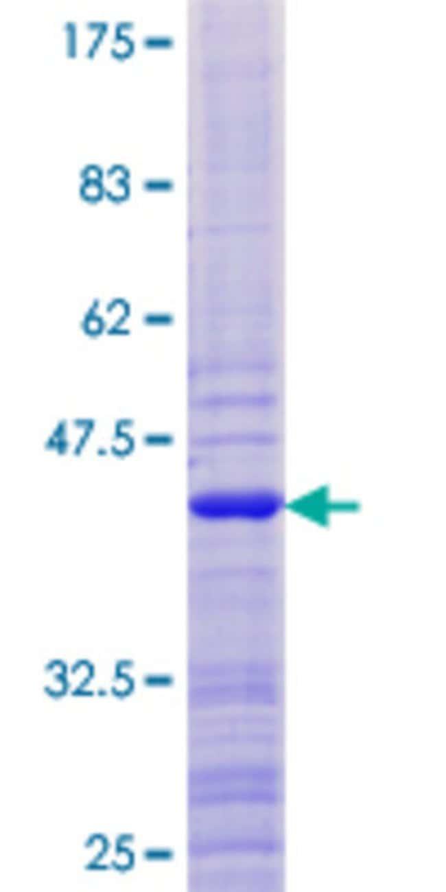 AbnovaHuman ATAD4 Full-length ORF (NP_077296.1, 1 a.a. - 103 a.a.) Recombinant