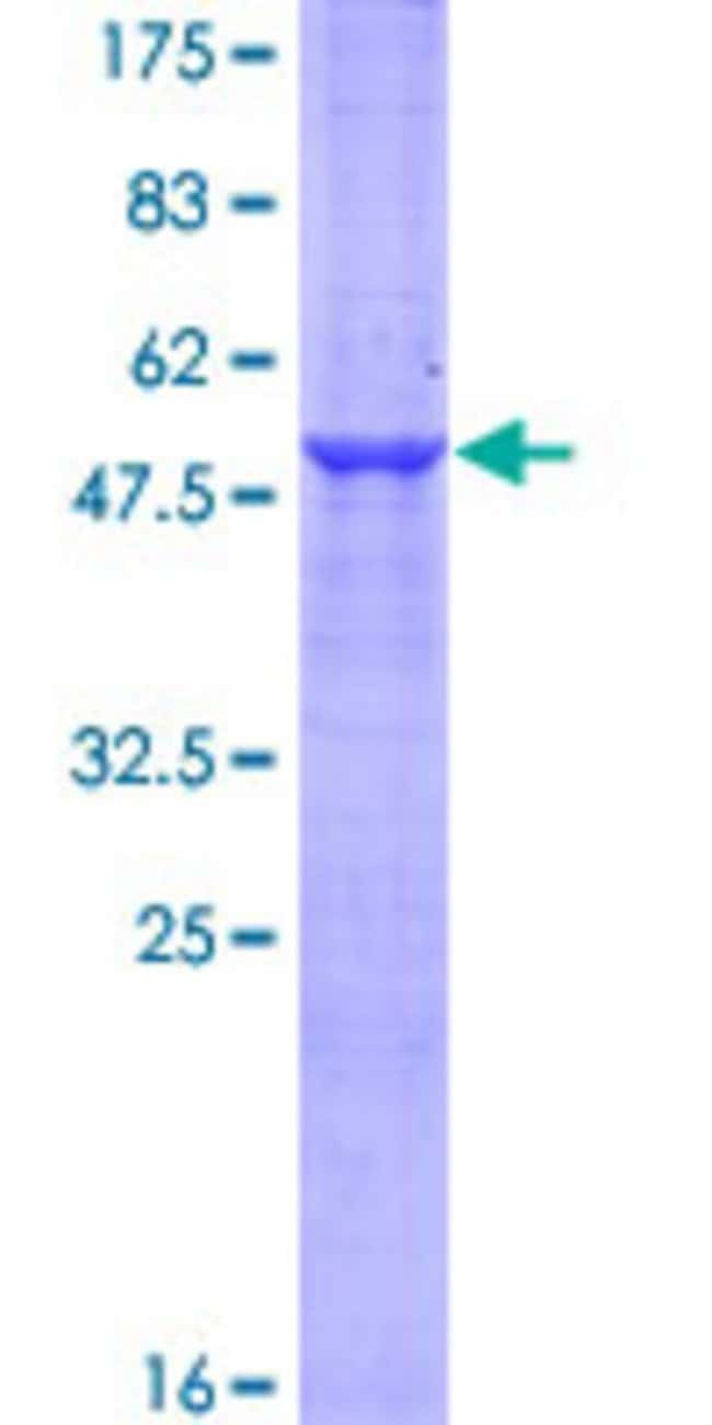 Abnova Human C1orf89 Full-length ORF (AAH02946.1, 1 a.a. - 258 a.a.) Recombinant