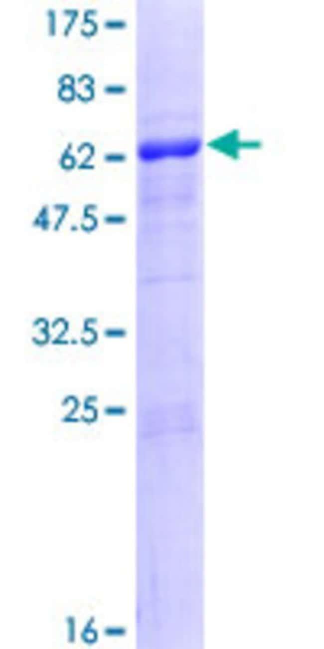 Abnova Human NHEJ1 Full-length ORF (NP_079058.1, 1 a.a. - 299 a.a.) Recombinant
